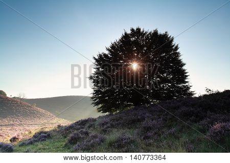 sunshine through oak tree in summer morning