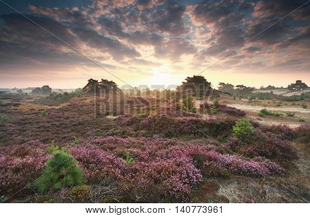 pink heather flowers at beautiful sunrise in summer