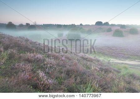 heather flowers on hills in mist Posbank Netherlands