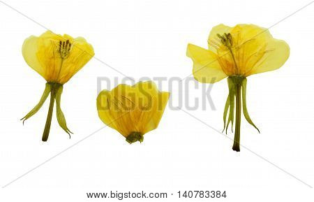 Pressed and dried flowers evening primrose (Oenothera biennis). Isolated on white background. For use in scrapbooking pressed floristry (oshibana) or herbarium.