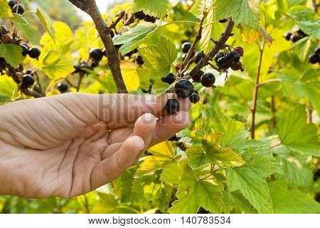 hand picking ripe berries of black currant in the garden