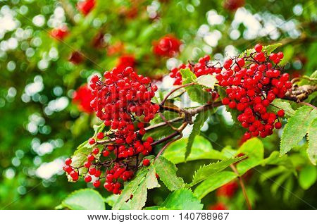 Summer colorful closeup view of red elderberry in Latin Sambucus racemosa