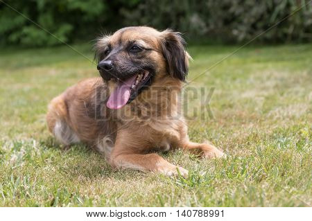 Crossbreed dog is lying on the lawn. Dog has a protruding tongue.