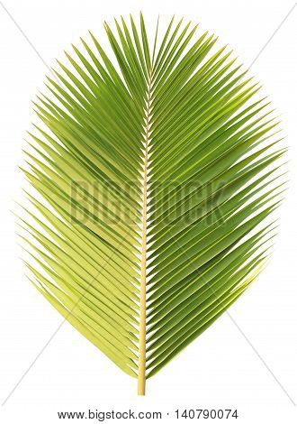 Green coconut tree isolated on white background