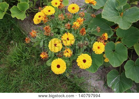 Calendula flowers is famous plants in the summer garden