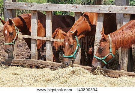 Group of purebred horses eating hay rural scene on animal farm