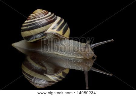 Garden snail isolated on black reflective background