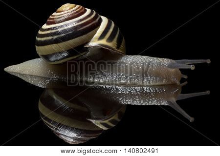Cute Snail in hurry. Garden snail isolated on black. Close-up. Garden snail on black reflective background