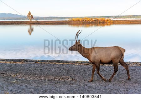 Young Elk On Lake