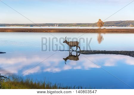 Elk Reflected In Lake