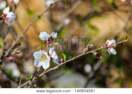 bright white flowers on a almond tree