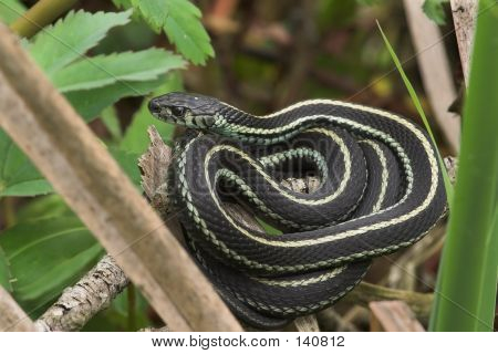 Coiled Garden Snake