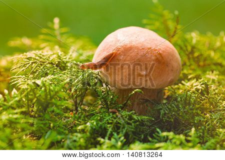 Slug on a mushroom hat in a green moss. The slug creeps from a mushroom on a moss in a sunlight. Close up small depth of sharpness