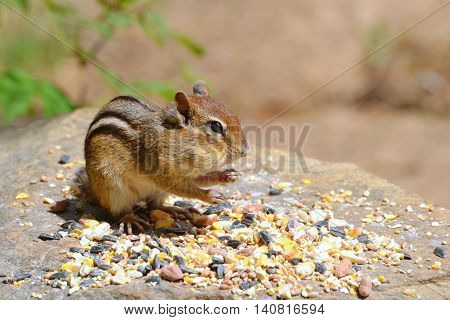 Chipmunk with chubby cheeks stands on a stone with abundant bird seed. Blurred background provides copy space.