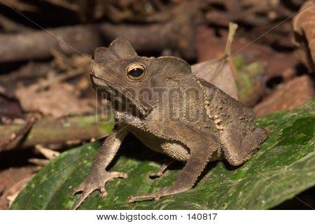 A Frog From Ecuador
