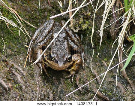 A Cascades Frog (Rana cascadae) on the bank of a stream