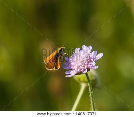 Small Skipper butterfly on Field Scabious during summer