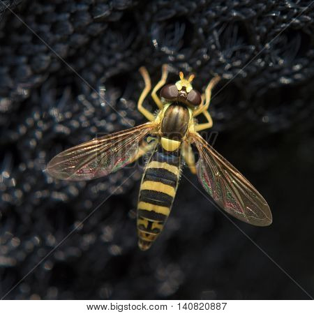 Syrphidae fly on black wall in summer day