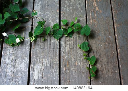 Morning Glory vine on weathered green boards with white flower buds