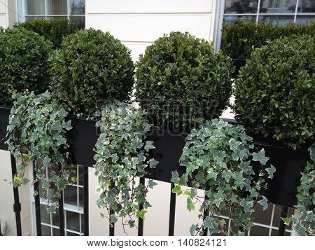 Belgravia London Window Planter with Boxwood and Ivy