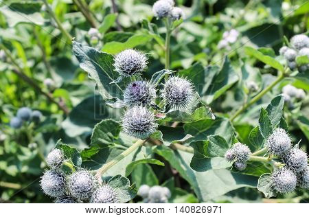 Burdock shrub with broad leaves and thorns