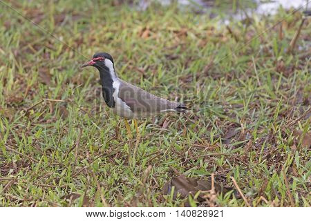 Red-wattled Lapwing in a Meadow in Bandhavgarh National Park