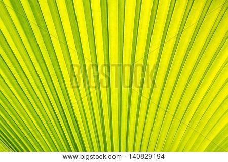 Beautiful Green leaf  Sugar palm texture background