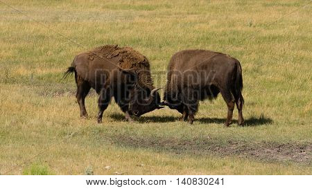 Wild Animal Buffalo Bull Males Fighting for Territory