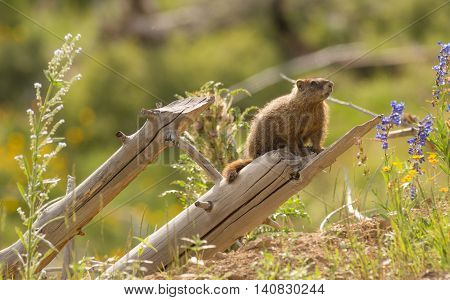Marmot out from den looking around on a log