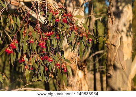 closeup of red eucalyptus tree flowers in bloom