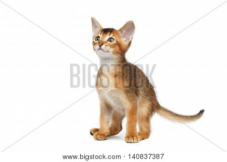 Little Abyssinian Kitty Sitting and Curious Looks up on Isolated White Background, sat down to poop