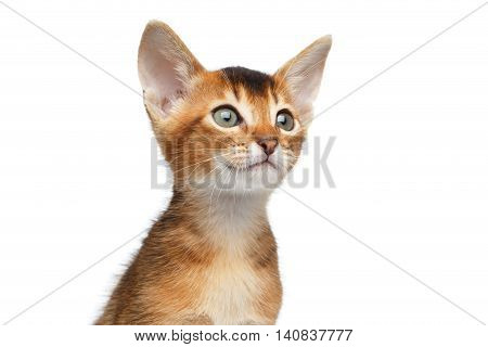 Close-up Face of Cute Abyssinian Kitty Curious Looks on Isolated White Background, Front view