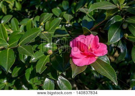 Camellia sasanqua at house with Japanese garden