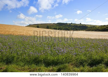 purple phacelia flowers with golden barley in a scenic yorkshire wolds landscape under a blue cloudy sky