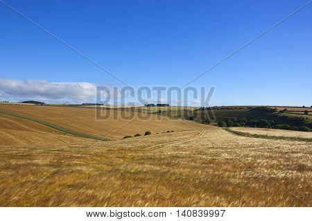 Extensive Golden Barley