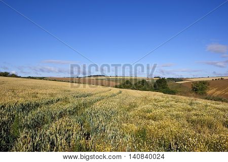 Green Wheat And Mayweed