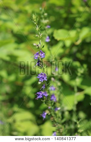 Hyssop officinalis (Hyssopus officinalis) - shrub and phytoncide plant
