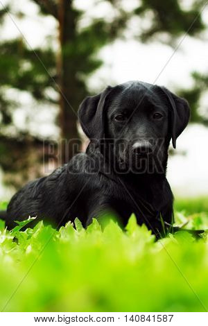 cute black dog puppy Labrador lies in the summer outdoors on the grass and seriously looking