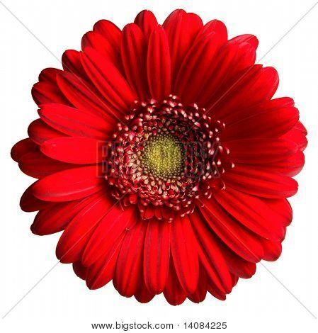 Vermelho Gerber Daisy