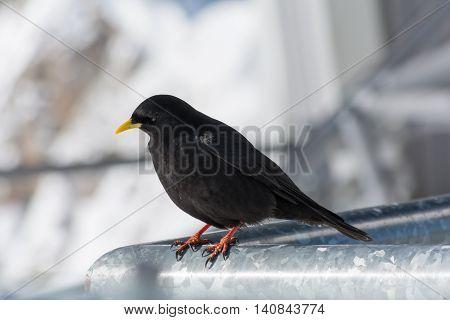black alpine chough close-up - blurred background depth-of-field