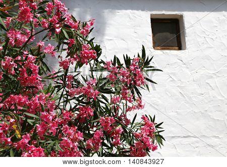 Oleander Flower In The Garden Of Mediterranean House