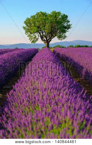 Lavender field at plateau Valensole, Provence, France. Focus to the tree