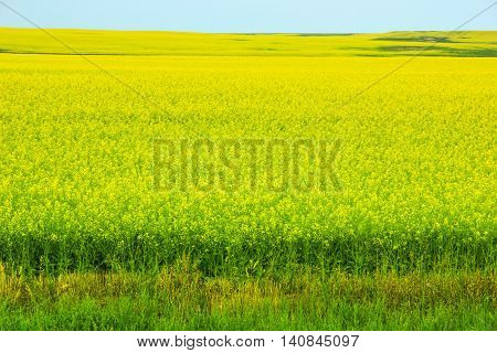 Rapeseed also known as rape oilseed rape rapa rappi rapaseed is a bright-yellow flowering member of the family Brassicaceae consumed in China and Southern Africa as a vegetable.