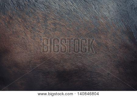 Fur skin of dark horse in the rain as background