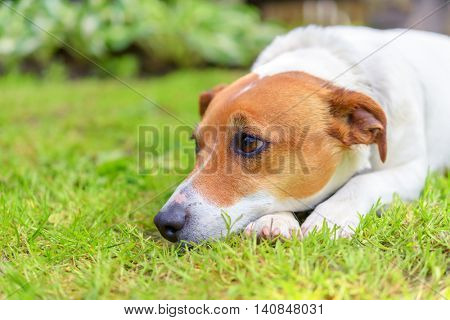 sad jack Russel on green meadow