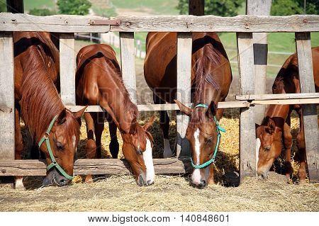 Foals and mares eat hay in summer corral
