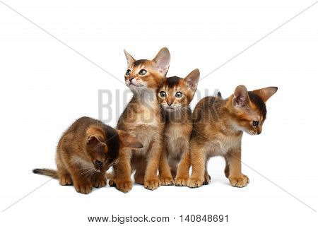 Four Cute Abyssinian Kitten Sitting and Curious Looking in Camera on Isolated White Background, Front view, Little Hunting