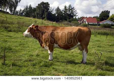 One cow in profile standing on a Danish field.