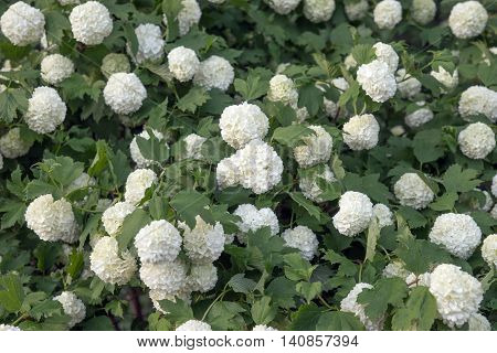Viburnum Roseum bloomed beautiful white flowers in the garden