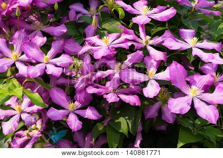 the big blossoming bush of a clematis of pink and lilac color for a natural background